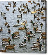 The Duck Pond Acrylic Print