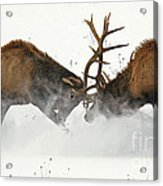 The Duel Of Fighting Elk Acrylic Print