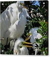The Egret Family Acrylic Print