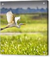 The Egret In Flight Series V3 Acrylic Print