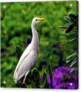 The Egret Outside My Window Acrylic Print