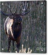The Elegant Elk Acrylic Print
