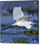The Elegant Great Egret In Flight Acrylic Print