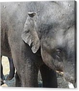 Asian Elephant Close Up Acrylic Print
