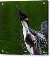 The Ever Elusive Loon Coming Out Of Dive Acrylic Print