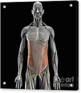 The External Oblique Muscles Acrylic Print
