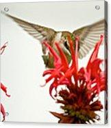 The Eye Of The Hummingbird Acrylic Print