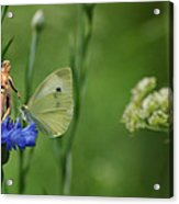 The Faerie And The Cabbage Butterfly Acrylic Print