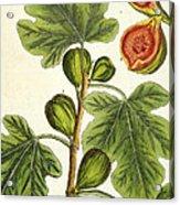 The Fig Tree Acrylic Print