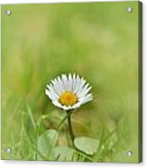 The First White Daisy Acrylic Print