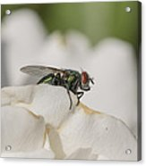 The Fly Acrylic Print
