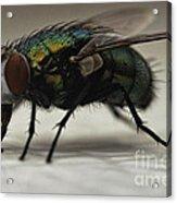 The Fly Macro Acrylic Print