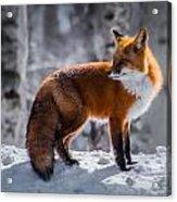 The Fox 1 Acrylic Print