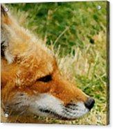 The Fox 7 Acrylic Print