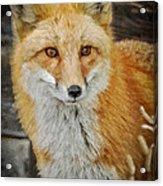 The Fox 8 Acrylic Print