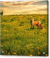The Fox And The Cow Acrylic Print