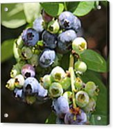 The Freshest Blueberries Acrylic Print