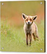 The Funny Fox Kit Acrylic Print
