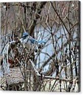 The Gathering Blue Jay Acrylic Print