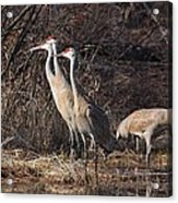 The Gathering...sandhill Cranes Acrylic Print
