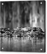 The Gator Acrylic Print