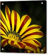 The Gazania Acrylic Print