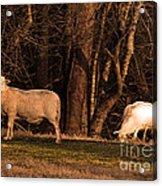 The Gazing And Grazing Sheep Acrylic Print