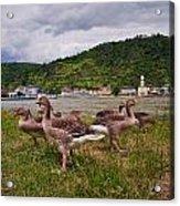 The Geese Of St Goar Am Rhein Acrylic Print