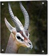 The Gerenuk Acrylic Print