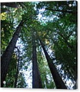 The Giant Redwoods I Acrylic Print