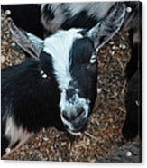The Goat With The Gorgeous Eyes Acrylic Print