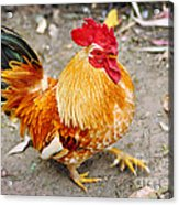 The Golden Rooster Acrylic Print