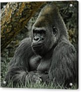 The Gorilla 3 Acrylic Print