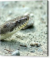The Gray Eastern Rat Snake Right Side Head Shot Acrylic Print