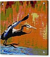 The Great Blue Heron Jumps To Flight Acrylic Print
