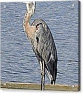 The Great Blue Heron Photo Acrylic Print