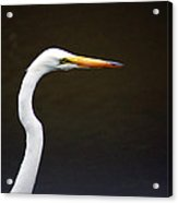 The Great Egret Head Shot Acrylic Print