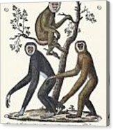 The Great Gibbon Acrylic Print