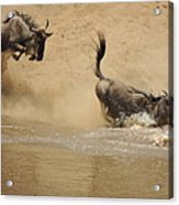 The Great Migration Wildebeest Crossing Acrylic Print
