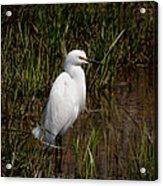 The Great White Heron Acrylic Print