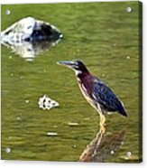 The Green Heron Acrylic Print