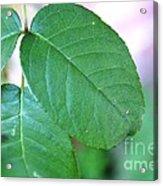 The Green Leaf Acrylic Print by Aqil Jannaty