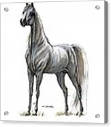 the Grey arabian horse 7 Acrylic Print