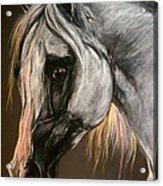 The Grey Arabian Horse Acrylic Print