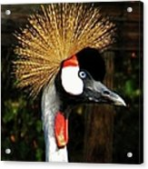 The Grey Crowned Crane Acrylic Print