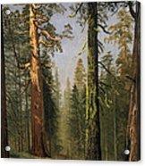 The Grizzly Giant Sequoia Mariposa Grove California Acrylic Print