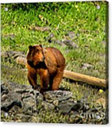 The Grizzly Acrylic Print