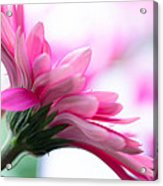 The Happy Flower Pink Daisy Acrylic Print