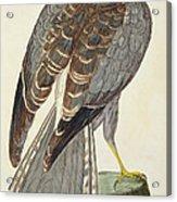 Hen Harrier Acrylic Print