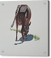 The Holy Cow And Dung 3 Acrylic Print